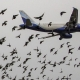 برخورد پرندگان با هواپيما