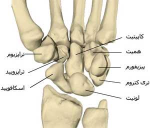آناتومی استخوان های مچ دست