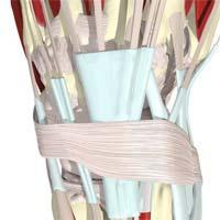 اکستانسور رتیناکولوم در پشت مچ دست بر روی غلاف تاندون های اکستانسور (به رنگ آبی)