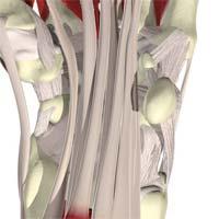 عبور تاندون های فلکسور انگشتان از سطح قدامی یا ولار استخوان های کارپ