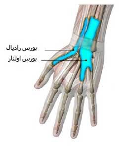 تاندون های فلکسور سطحی و عمقی انگشتان در حین عبور از داخل تونل کارپ در داخل دو غلاف سینوویال یا بورس قرار می گیرند