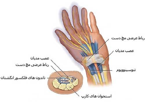 عصب مدیان همراه با تاندون های فلکسور سطحی و عمقی (به همراه غلاف آنها) از زیر رباط عرضی مچ دست عبور می کنند