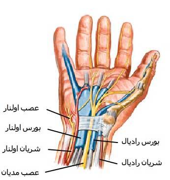 اعصاب و شیریان های عبوری به مچ دست