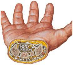 در سطح مقطع مچ دست استخوان های کارپ و کانال کارپ و محتویات آن دیده می شوند