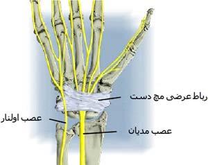 عصب های مدیان و اولنار از سطح قدامی مچ دست عبور کرده و به کف دست می رسند