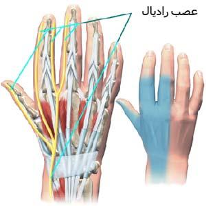 عصب رادیال Radial nerve