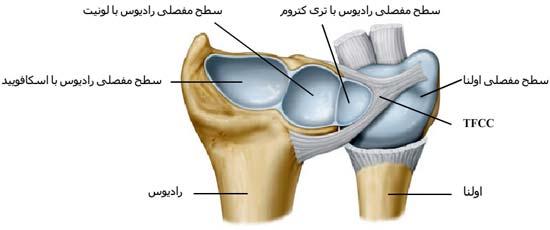 سطح مفصلی پایینی استخوان رادیوس یا زند زبرین با سه استخوانچه اسکافویید، لونیت و تری کتروم مفصل می شود