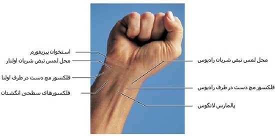 آناتومی مشخصات ظاهری دست