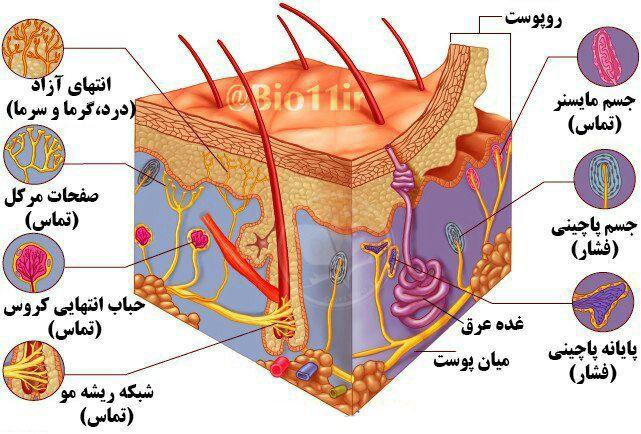 آناتومی پوست