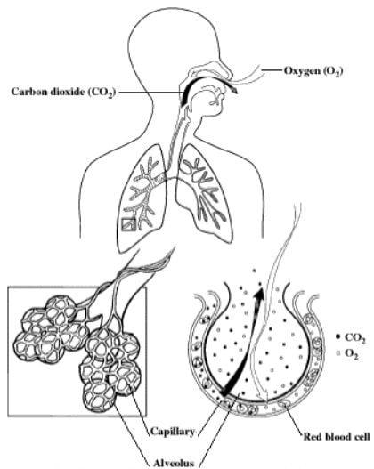 تبادل گازهای اکسیژن و دی اکسید کربن در کیسه های هوای تنفسی