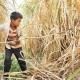 پیشگیری از اختلالات اسکلتی - عضلانی کودکان در کشاورزی