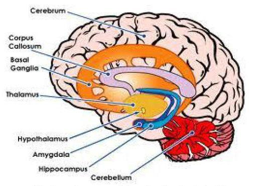 نمایی از مغز انسان و بخش های مختلف آن